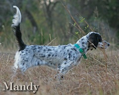 Llewellin Setter Breeders - White Rock Kennels