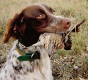 Llewellin Setters, foot hunting birddogs for bird hunter of quail and pheasant.  Llewellin puppies and started dogs available.
